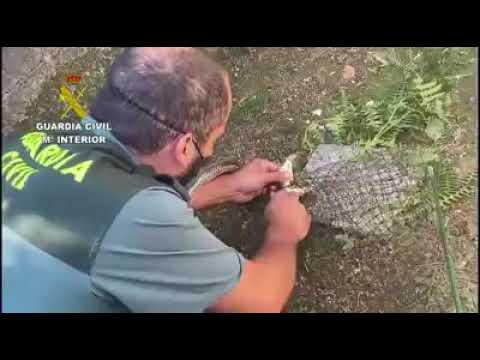 El Seprona rescata y devuelve al monte una culebra bastarda en Ponteareas