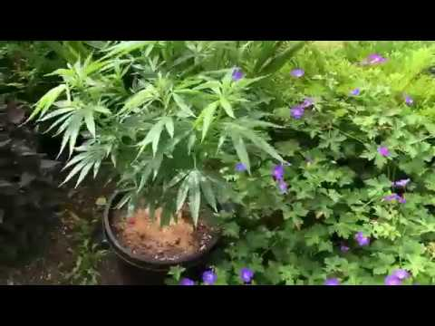 This is Fascinating... Check out This Man's Medical Marijuana Garden!