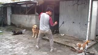 pertarungan seru manusia vs 3 ekor anjing
