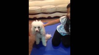 Poodle Doing Yoga With His Owner