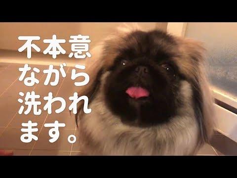 犬を飼った事ない人だけで飼い犬をお風呂に入れてみた。