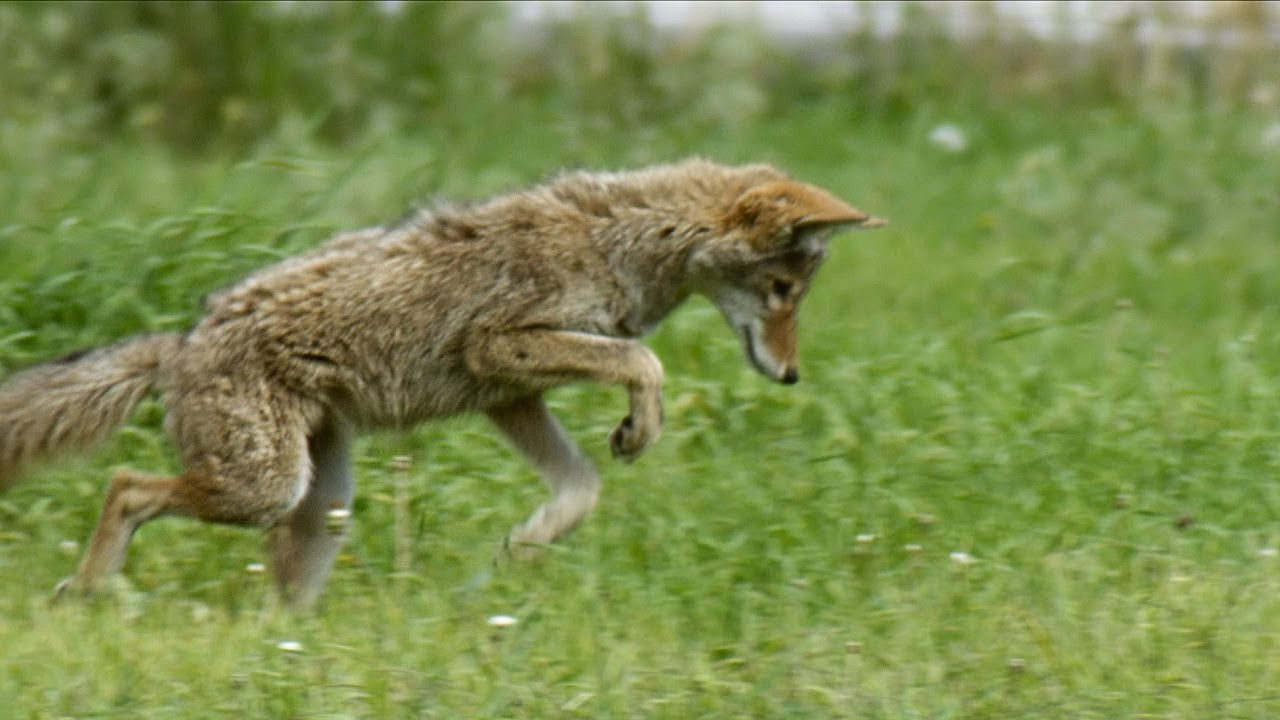 Coyote Catches Grasshoppers in Slow Motion | Earth Unplugged