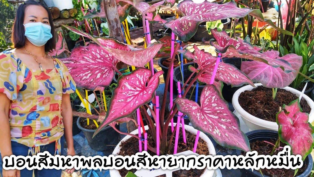 บอนสีท้าวมหาพลบอนสีหายากราคาหลักหมื่น!! บอนสี..ไม้มงคล ร้านสายป่านพันธุ์ไม้ ตลาดดงบัง จ.ปราจีนบุรี