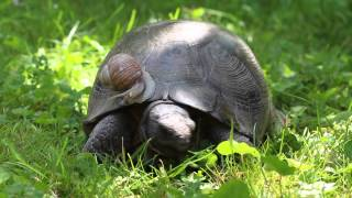 Pedro and the snail - best friends 4ever - The Marginated Tortoise and the Vineyard Snail