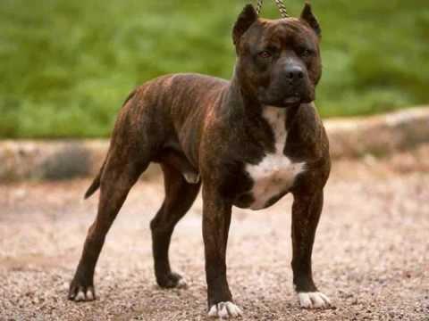 Все породы собак.Американский стаффордширский терьер (American Staffordshire Terrier)