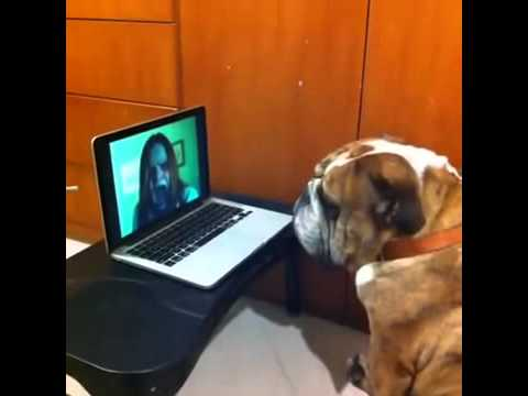 So you want to scare a Bulldog? Try it :) Funny Dog Prank