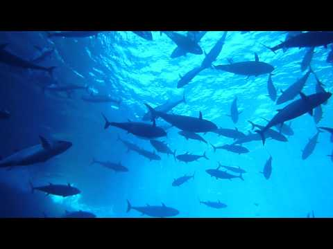 Hundreds of Tuna fishes in Ogasawara