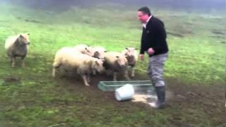 SheepSheep....