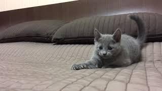 Русские голубые котята. Русская голубая. Питомник Ruzara.