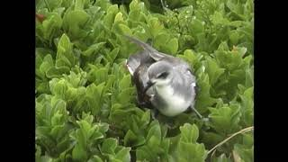 ハグロシロハラミズナギドリ(1)稀な海鳥(ロード・ハウ島) - Black-winged Petrel - Wild Bird - 野鳥 動画図鑑