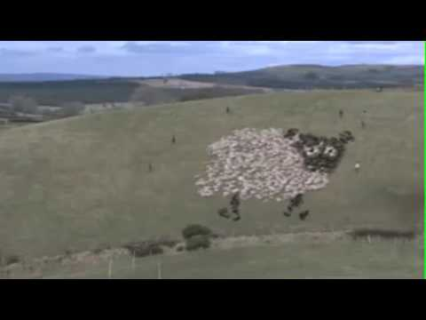 Extreme Sheep Herding - With Lights!