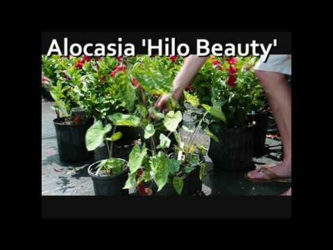 Hilo Beauty Elephant Ear Plants Alocasia Hilo Beauty Hawaii