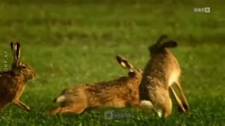 Jäger geben Tieren Lebensraum zurück ORF Burgenland heute