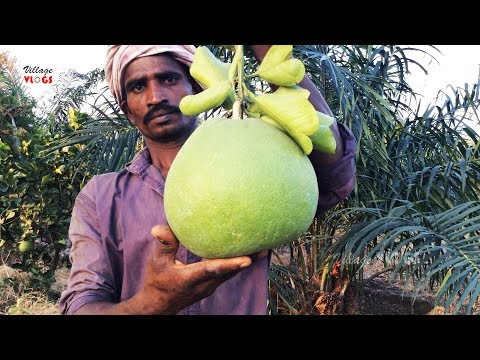 Farm Fresh Pomelo Cutting and Eating | Healthy Village Food
