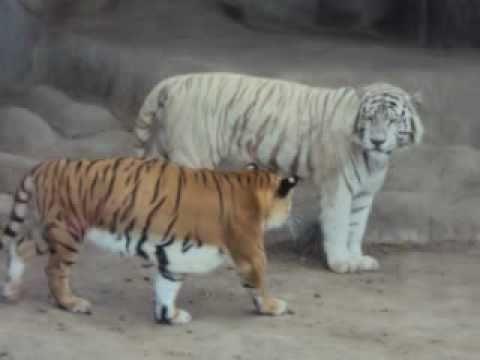 leon y tigre blanco - photo #5
