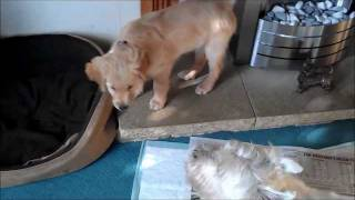 8 Week Old Golden Retriever Playing With Westie