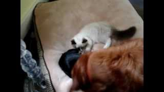 Ragdoll Kitten Plays With Golden Retriever And Min Pin Chihuahua Mix - ラグドール -- Floppycats