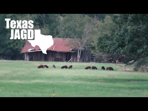 Daytime Hog Hunting   5 Texas Feral Pigs