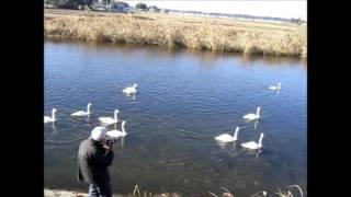 我が町に白鳥さんが今年も飛来。