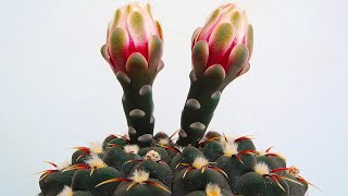 SECRETS OF CACTUS FLOWERING | BEST FLOWERING CACTI FOR BEGINNERS
