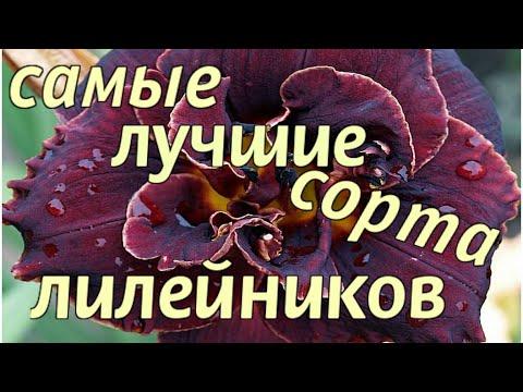 ПОСАДИТЕ САМЫЕ ЛУЧШИЕ сорта ЛИЛЕЙНИКОВ!/Plant the best varieties of daylilies!