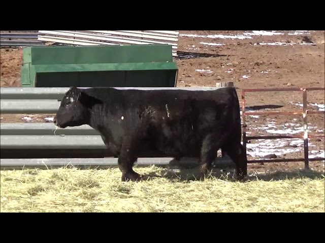Connealy Angus Lot 123