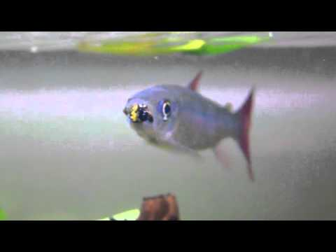 My Chalceus RedTail Fish (Chalceus Macrolepidotus) Eating A Bumblebee...