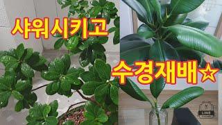 인삼벤자민*샤워시키고☆고무나무*수경재배♧중년의일상A m…