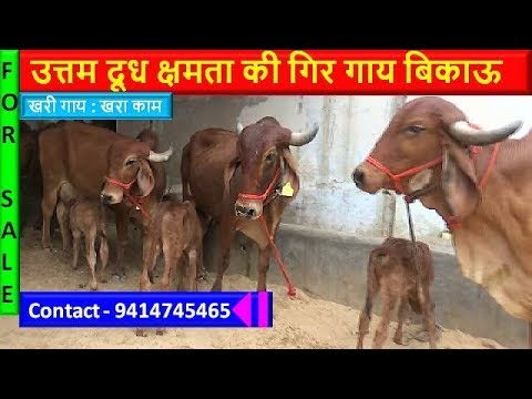 Gir Cows Farm : Arawli Cow Dairy Farm In Kishangarh, Ajmer