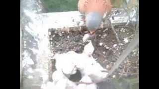 Mirijevo 2013 vrabac