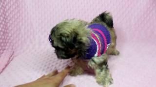 Cinderella - Teacup Morkie (Maltese&Yorkie) Puppy in PuppyHeaven LA