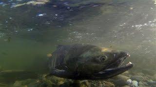 Goldstream Salmon Run