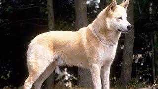 Ханаанская собака - порода из Израиля