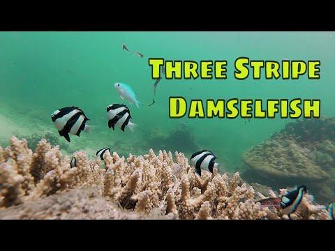 Talkative Three Stripe Damselfish