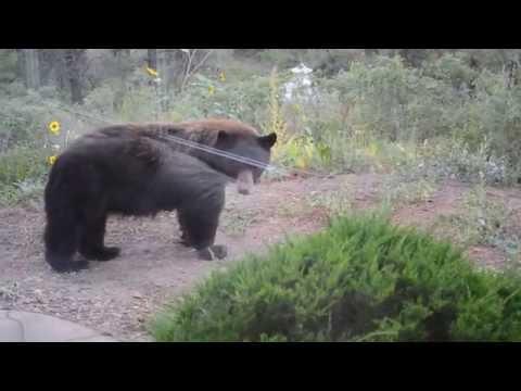 Pagosa Springs Bears.