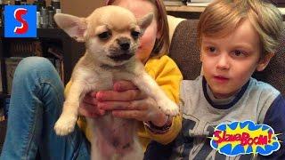Слава и его сестра Таня играют с милыми щенками чихуахуа.Slava plays with chihua puppies