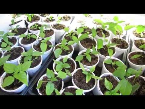 Late February 2015 Vegetable Garden Update: Transplanted Kale & Peppers Look Good - Stop the Snow!