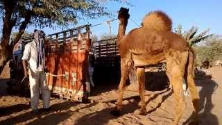 How to Load an Angry Camel on a Truck for Transportaion