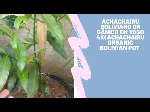achachairu Boliviano orgânico em vaso 4k(Achachairu Organic Bolivian Pot 4K)