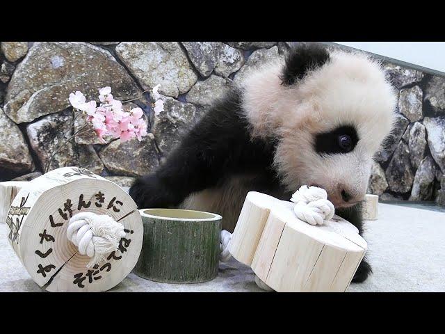 パンダの赤ちゃん、初の遊具に興味津々 名前3案も公表