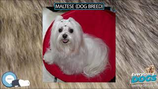 Maltese Dog Breed  Everything Dogs