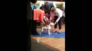 Best Puppy In Show Merseyside Staffordshire Bull Terrier Club 2015