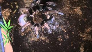 Theraphosa Apophysis ( Closer Look After Her Moult(, 2015-12-12T14:05:00.000Z)