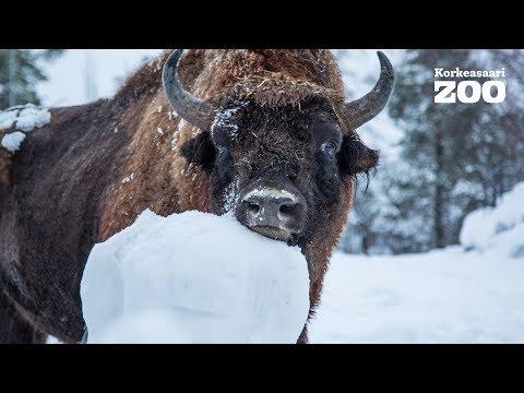 Helsinki Zoo´s European Bison VS. Snowman - Who Wins? (Bison bonasus)