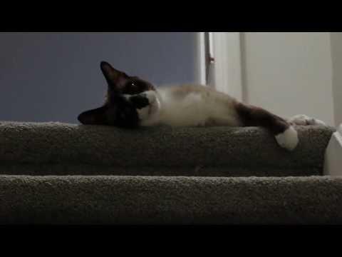 Frisky Siamese Cat Likes Whistling Noises Snowshoe Funny