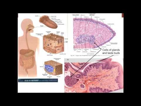 13. Medical School Histology. Digestive System I - Part 1 (Cells)