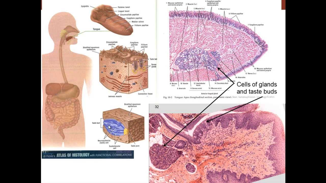 13 medical school histology digestive system i part 1 cells 13 medical school histology digestive system i part 1 cells youtube ccuart Gallery