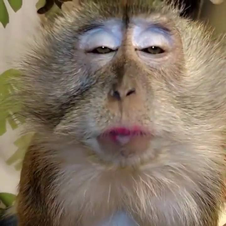 Mono Le Encanta Que Lo Peinen Sus Caras Son Graciosas Youtube