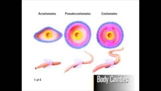 Body Cavity Development