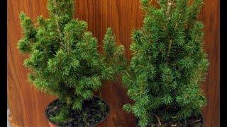 Карликовая елка дома!(Экономь в Новый Год! Как вырастить карликовую елку - ЛЕГКО! ПОДПИШИСЬ! Совсем скоро подробное видео